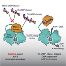 Regulation of a Chromatin Remodeling Oncogene