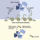 Cooperation between FACT and H2B ubiquitination controls chromatin integrity